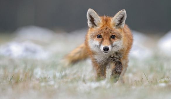 Parcs animaliers - animaux - renard