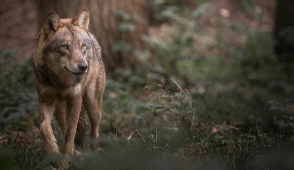 Parcs animaliers - animaux - loup