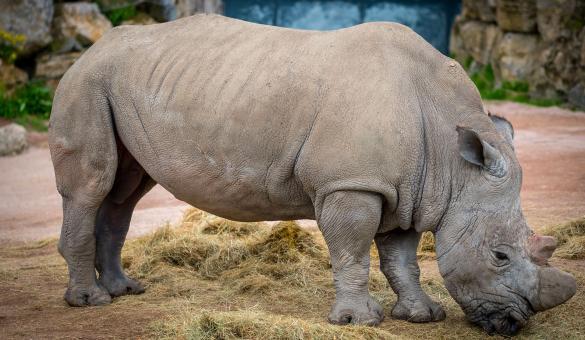 Parc - Pairi Daiza - Brugelette - Rhinocéros