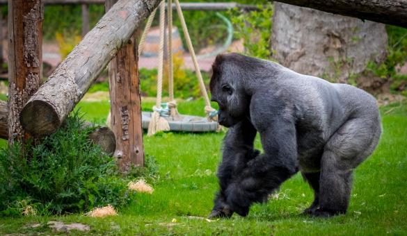 Parc - Pairi Daiza - Brugelette - Gorille