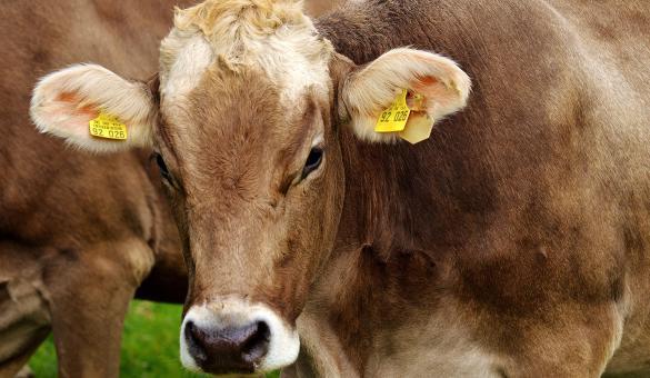 Marché fermier - produits du terroir - boeuf - vache