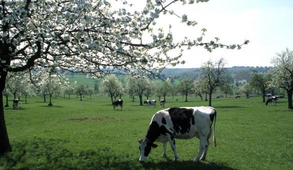Pays de Herve - Paysage - praire - vache