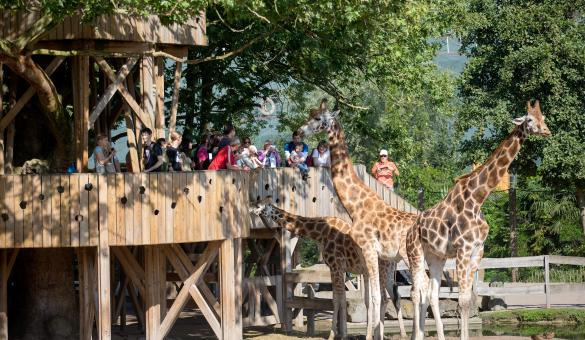 From the giraffe lookout in Pairi Daiza, help the carers to feed the animals