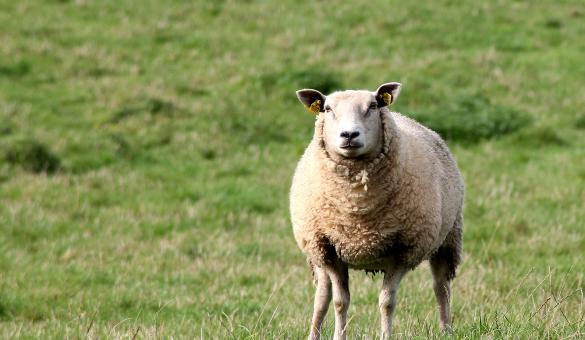 Marché fermier - produits du terroir - boeuf - vache - mouton
