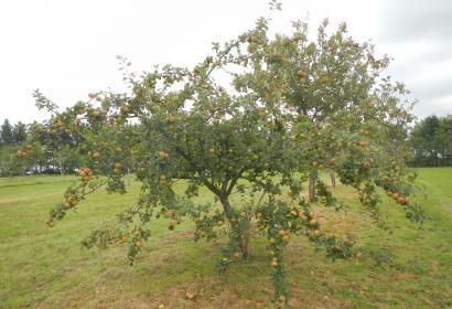 Verger - Conservation - Tronquoy - anciennes variétés fruitières