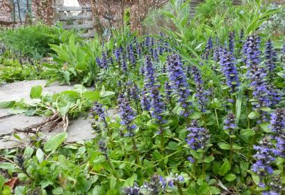 Jardins de la grange - Bugle rampant - Ellezelles