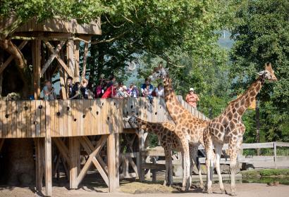Depuis le belvédère des girafes à Pairi Daiza, aidez les soigneurs à les nourrir