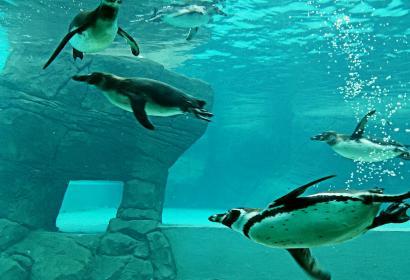 Découvrez le bassin des manchots au parc Le Monde Sauvage Safari Parc d'Aywaille